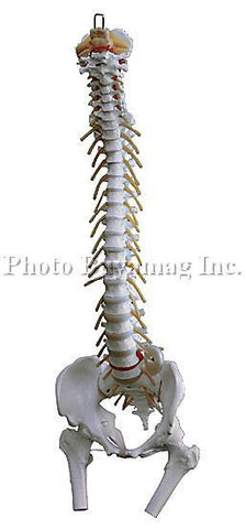 "Spine Model ""B"" 35"" Life Size Flexible Adult With Stand"