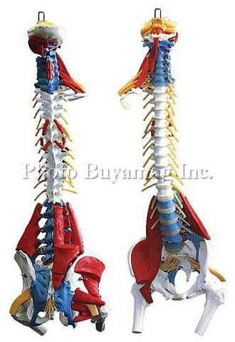 "Spine-Muscle Model ""F"" 35"" Deluxe Life-Size Flexible  with Stand"