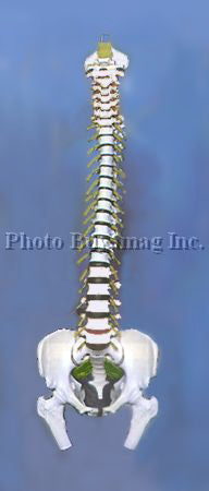 "Spine ""B"" 35"" Life Size Adult Spine Model"