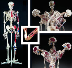 Super Skeleton  Model & Joints & Ligaments