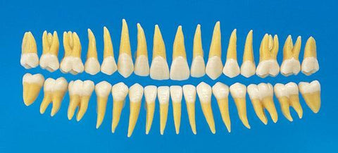 Replacement Teeth  Model For Typodont 32 or 28 Teeth