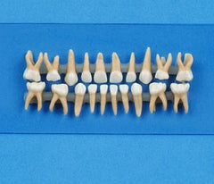 primary dentition child teeth