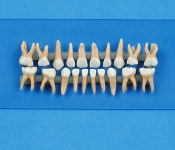 Full Primary Replacement Teeth For Typodonts