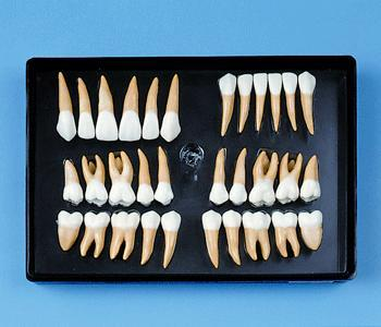 Dental Anatomical Teeth  32,  2,5 Life-Size