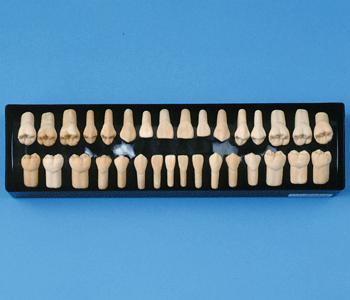 Dental Anatomical Teeth 2 x Life-Size