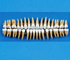 Dental Model 32 Teeth Replacement Typodont For Dentistry Practice