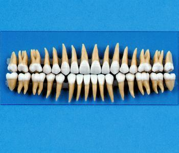 Replacement Teeth  Model For Typodont # 1 above