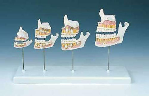 Dentition Development Models