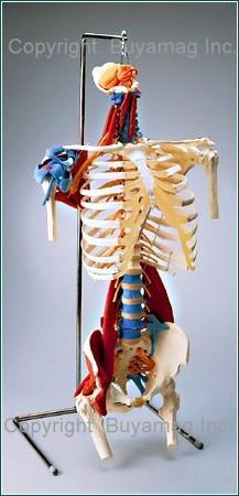 Human Torso Model Skeletal Muscles Tendons Ligaments Deluxe Life-Size Adult