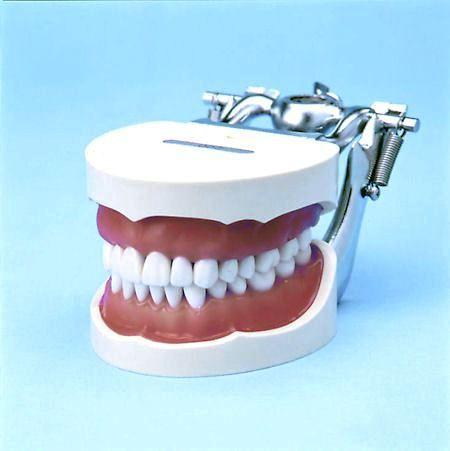 Dental Training Techniques DP Typodont 32 Removable Teeth Soft Gingivae Model