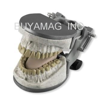 dental x-ray teeth typodont model radiopaque