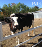 Faith the cow at The Gentle Barn
