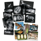 Roylco Animal X-Rays Set - Theme/Subject: Radiology - Skill Learning: Fish, Animal, Amphibian, Bird, Reptile - 4+