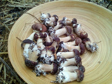Load image into Gallery viewer, Wine Cap mushroom bed starter spawn (stropharia rugosoannulata) 2kg