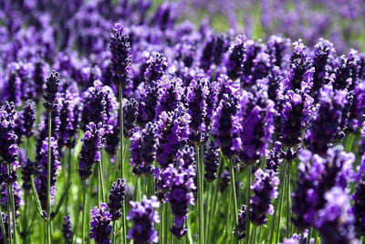 Vaping & diabetes: Research shows lavender oils regulate blood glucose