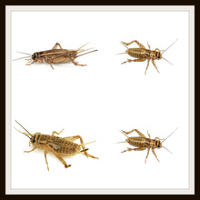 Load image into Gallery viewer, Armstrong Crickets .The original brown cricket