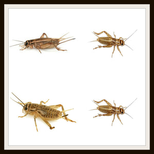 Armstrong Crickets .The original brown cricket