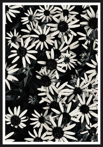 Echinacea black and white