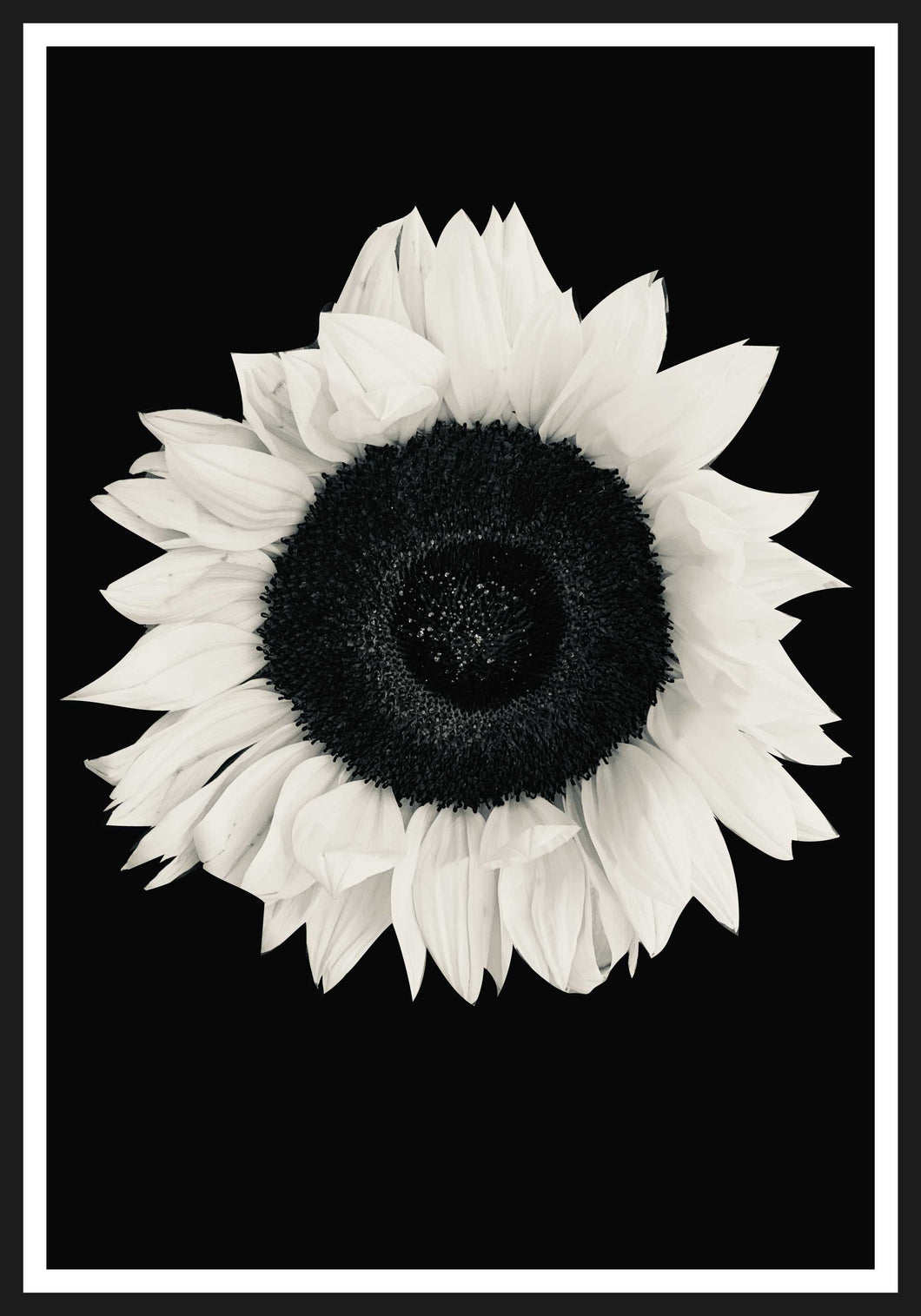 Sunflower black and white