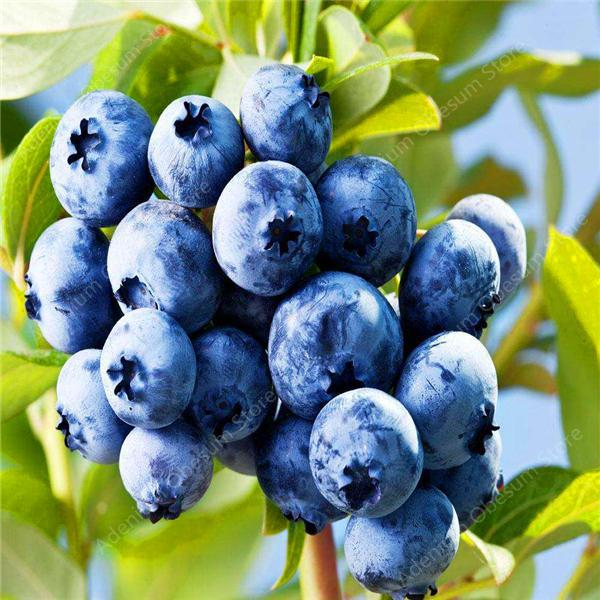 BlueBerry - 100 sementes/pack