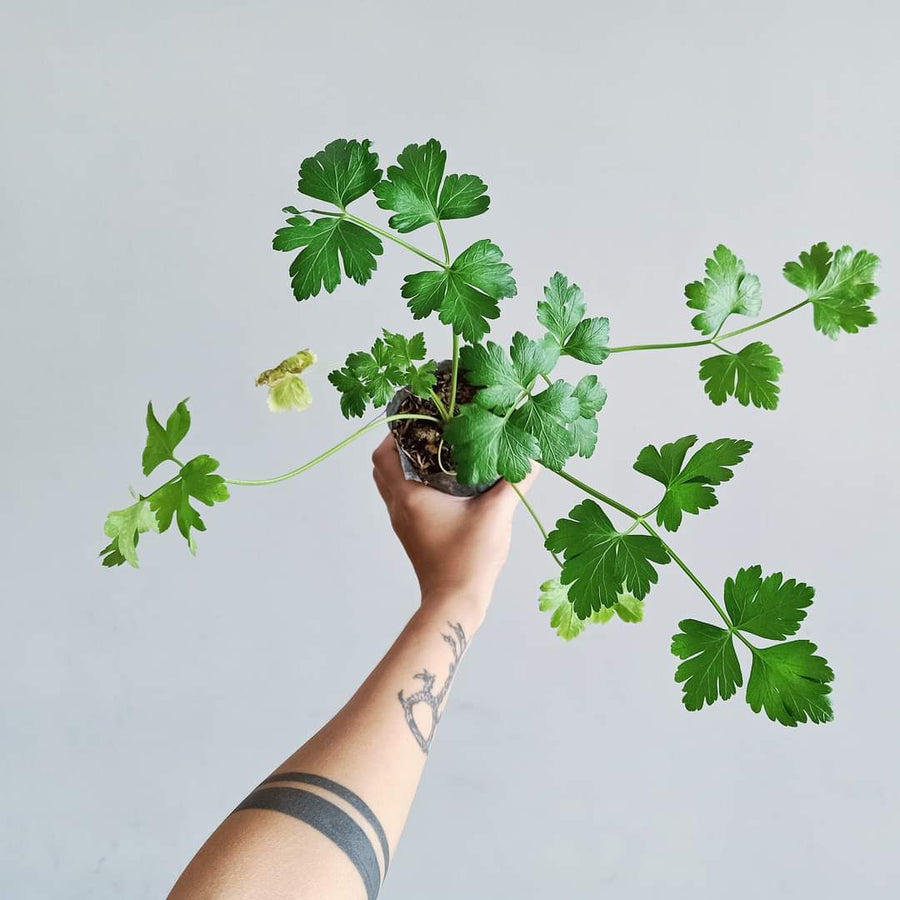 Flat-leaf Parsley Seedling