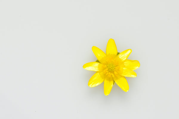 Bright yellow daisy on grey background