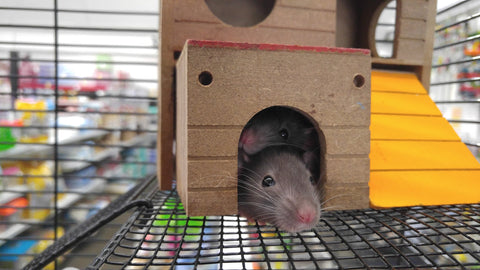 two rats in a wooden house