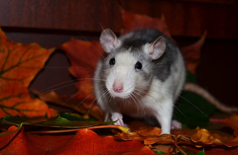 cute rat grey and white