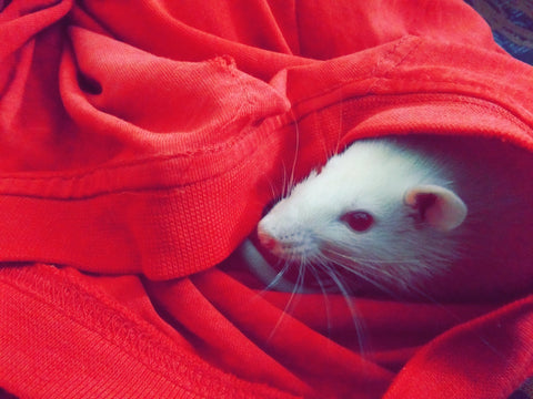 white rat in red clothes