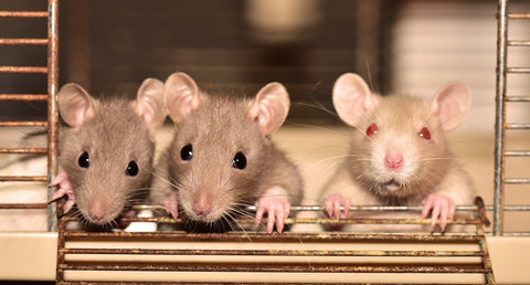 three rats in cage