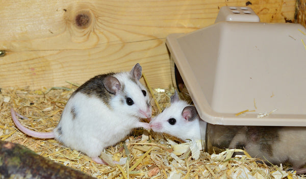 two white and brown mice