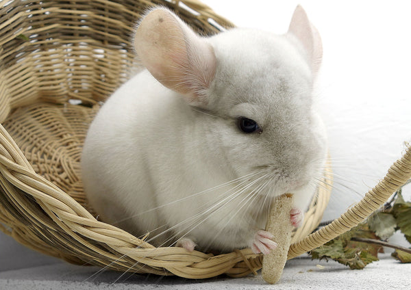 white chinchilla eating