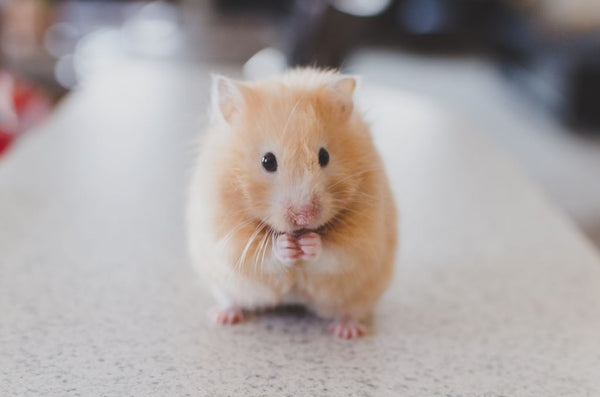 yellow hamster eating
