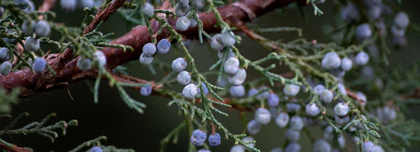 Juniper berries used to make botanical oils