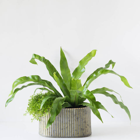 Large Oval Assorted Fern Tin Planter