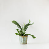 Mini Staghorn Fern Tin Planter