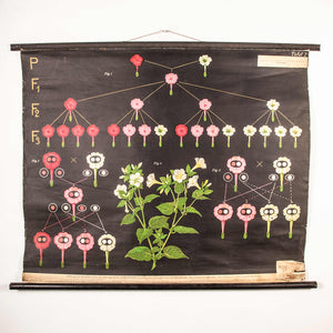 Early 20th Century Educational Chart - Plant Development
