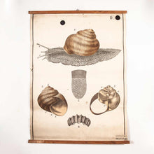 Load image into Gallery viewer, Early 20th Century Vintage Czechoslovakian Educational Chart - Garden Snail