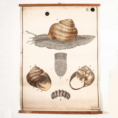 Early 20th Century Vintage Czechoslovakian Educational Chart - Garden Snail