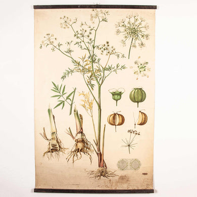 Early 20th Century Educational Chart  - Botanical