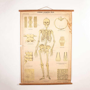 Early 20th Century Educational Human Skeleton Chart
