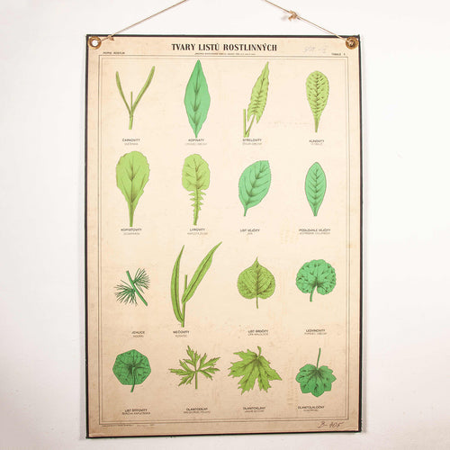 Early 20th Century Rigid Educational Botanical Chart