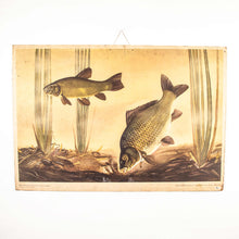 Load image into Gallery viewer, Mid 20th Century Educational Rigid Chart - Carp