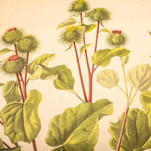 Early 20th Century Burdock Plant Chart