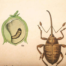 Load image into Gallery viewer, Early 20th Century Plant & Insect Chart