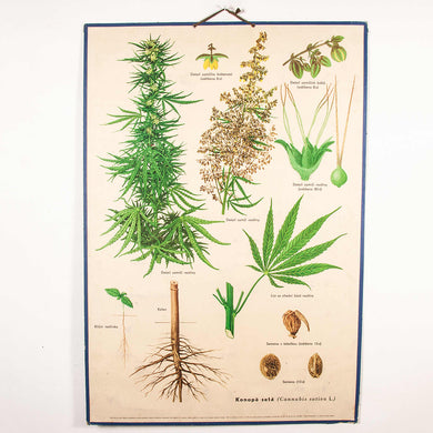 Early 20th Century Educational Cannabis Plant - Rigid Chart