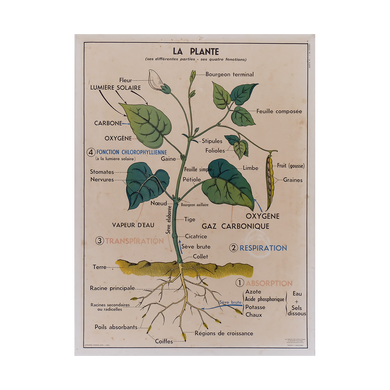 Original Double-sided French School Plant Poster 1950's