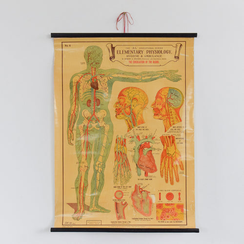 Vintage Small E.J. Arnold & Son Anatomical Poster of Circulation of the Blood No. 4
