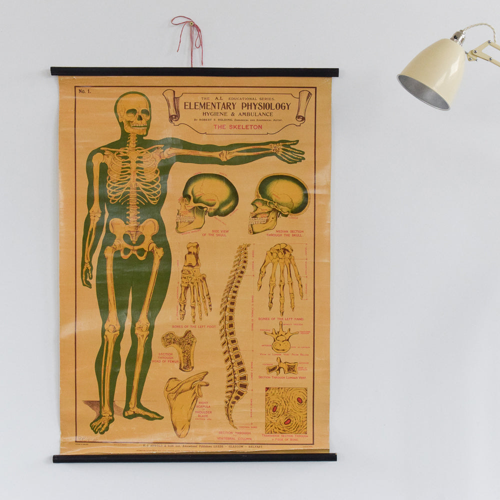 Vintage Small E.J. Arnold & Son Anatomical Poster of The Skeleton No. 1