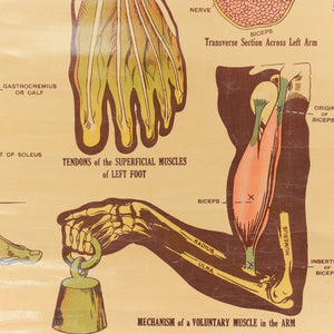 Vintage Small E.J. Arnold & Son Anatomical Poster of The Structure and Uses of the Muscles No. 2